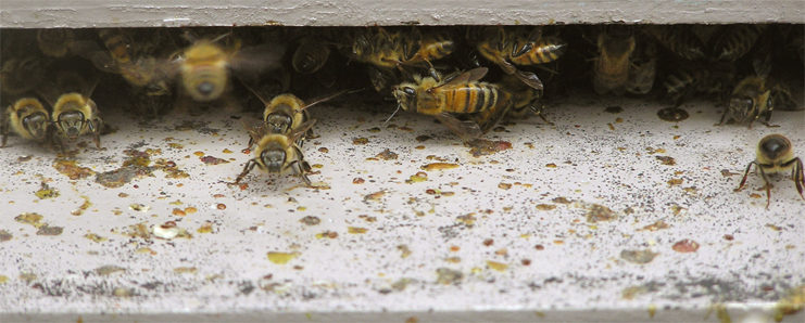 Bees in Mattapan Square