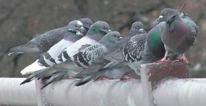 bostonpigeons