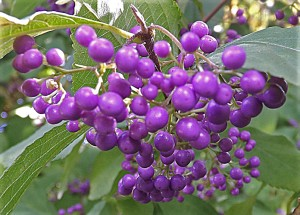 purplebeautyberries
