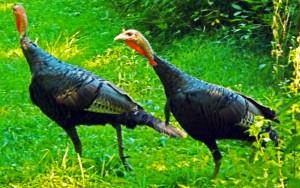 turkeyleave